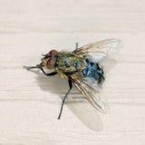 муха Стоковая Фотография RF