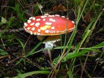 муха agaric Стоковое Изображение