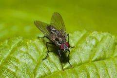 Муха Anthomyiidae Стоковые Изображения