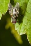 Муха Anthomyiidae Стоковое Изображение RF