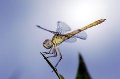 муха damsel Стоковое Изображение