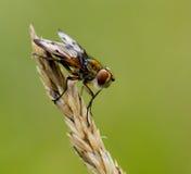 муха ectophasia crassipennis стоковые фотографии rf