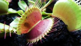 Мухоловка цветка Венеры стоковая фотография rf