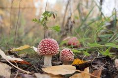 Мухомор в древесинах Ядовитый гриб Макрос Красные гриб и трава с листьями осени стоковое фото