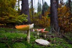 Мухомор в лесе осени, конец-вверх Стоковое Фото