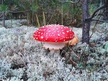 Мухомор гриба в лесе мха Стоковые Изображения
