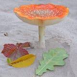 Мухомор гриба Красивейшее изображение Стоковые Фотографии RF