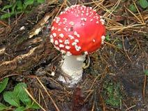 Мухомор гриба Красивейшее изображение Стоковые Изображения