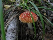 Мухомор гриба Стоковые Изображения RF