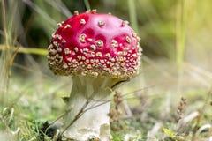 Мухомор Красивый гриб красного цвета осени стоковые изображения rf