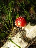 Мухомор пластинчатого гриба мухы гриба макроса Стоковое фото RF