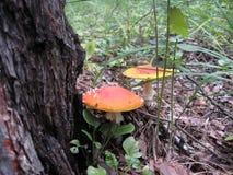 Мухомор пластинчатого гриба мухы гриба макроса Стоковые Изображения RF