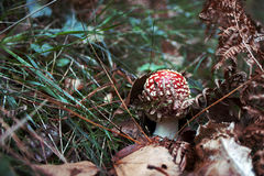 Мухомор, ядовитый гриб в древесинах Стоковые Изображения RF