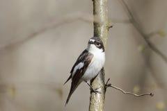 Мухоловка птицы сидит в парке на ветвях в предыдущей весне Стоковая Фотография
