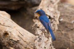 Мухоловка сини ` s Tickell Стоковое Фото
