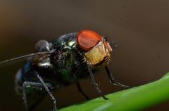 Мухы тип насекомого которое имеет 2 крыла с глазами и больше всего имеют большие сложные глазы стоковые изображения rf