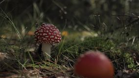 Мух-пластинчатый гриб Muscaria мухомора в лесе осени на солнечный день видеоматериал
