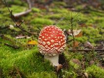 Мух-пластинчатый гриб в лесе осени Стоковая Фотография RF