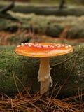 Мух-пластинчатый гриб в лесе осени Стоковое Изображение