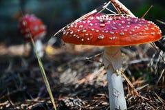 Мух-пластинчатый гриб стоковые изображения