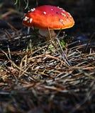Мух-пластинчатый гриб стоковые фотографии rf