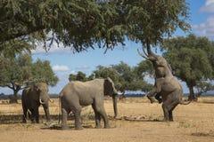 Мушкетёры дерева Стоковые Фотографии RF