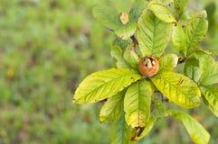 мушмула на листьях ветви и зеленого цвета вала Стоковая Фотография