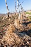 Мульчировать корни молодых деревьев Kiwy с соломой Стоковая Фотография RF