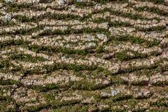 Мшистая кора дерева Стоковые Изображения