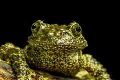Мшистая лягушка (corticale Theloderma) Стоковое Фото