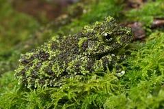 Мшистая лягушка (corticale Theloderma) Стоковые Фото