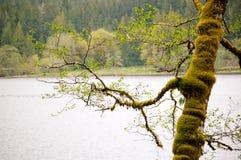 Мшистые деревья вдоль озера в лесе старого роста стоковая фотография rf