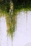 мшистый гипсолит Стоковая Фотография