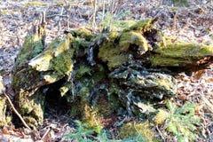 Мшистый пень в парке штата Джэй Cooke стоковое изображение