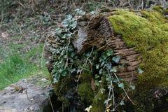 мшистый ствол дерева Стоковое фото RF