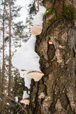 Мшистый хобот с грибками Polypore под крышками снега Стоковые Изображения RF
