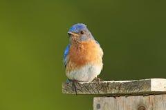 Мыжская восточная синяя птица на Nestbox Стоковые Фотографии RF