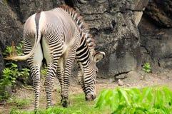 Мыжская еда зебры Стоковое Фото