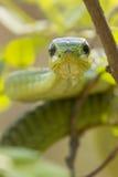 Мыжская змейка Boomslang, (typus Dispholidus), Южно-Африканская РеспублЍ стоковая фотография