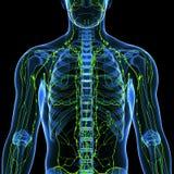 Мыжская лимфатическая система с сердцем Стоковое фото RF