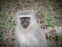Мыжская обезьяна Стоковые Фотографии RF