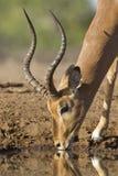 Мыжская питьевая вода импалы (melampus) aepyceros Ботсвана стоковое фото