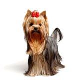 мыжские детеныши yorkshire terrier стоковое изображение