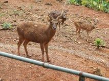 Мыжские и женские олени стоковая фотография