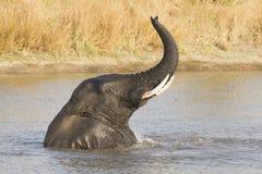 Мыжское заплывание африканского слона (africana Loxodonta), южное Afric Стоковое фото RF