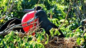 Мыжское пышное Frigatebird Стоковые Фото