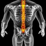Мыжское тело Стоковые Фотографии RF
