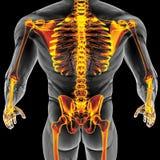 Мыжское тело Стоковые Изображения