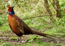 Мыжское colchicus фазана/Phasianus Стоковое Изображение RF