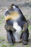 мыжское mandrill Стоковая Фотография RF